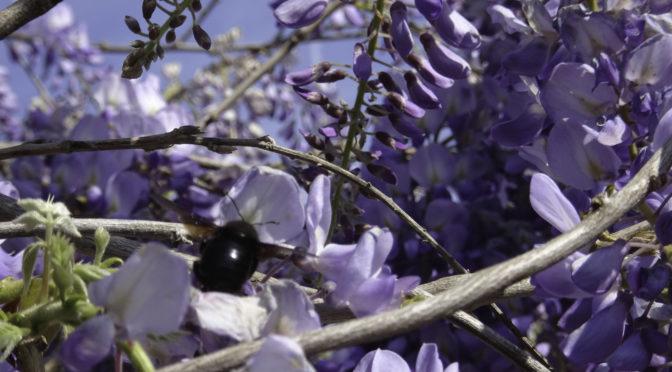 Civitella in Val di Chiana – Frühling in der Toscana