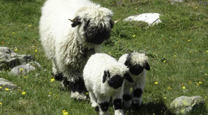 Zermatt 3|3: Wanderung zu den Schwarznasen-Schafen
